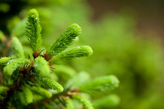 New growth on a spruce. New bright green growth on a spruce tree in the spring with raindrops Stock Photography