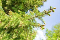 New growth of spruce tree. On blue  spring sky  background Stock Images