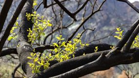 New Growth On a Burned Tree. New growth spurts forth on a charred live oak tree stock image
