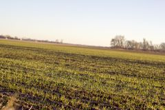 New growth in a sunlit field. Close up crooked horizontal photo showing rows of new plant growth in a field being lit by the warm morning sun royalty free stock photos