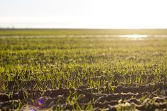 New growth in a sunlit field. Horizontal photo showing rows of new plant growth in a field being lit by the warm morning sun royalty free stock photography