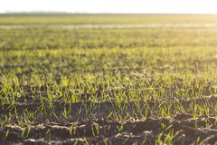 New growth in a sunlit field. Horizontal photo showing rows of new plant growth in a field being lit by the warm morning sun stock photo
