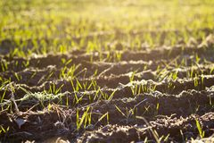 New growth in a sunlit field. Horizontal photo showing rows of new plant growth in a field being lit by the warm morning sun royalty free stock image