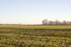 New growth in a sunlit field. Horizontal photo showing rows of new plant growth in a field being lit by the warm morning sun with trees in the background stock images