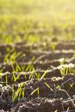 New growth in a sunlit field. Vertical close up photo showing rows of new plant growth in a field being lit by the warm morning sun stock photos