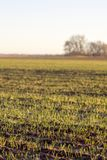 New growth in a sunlit field. Vertical photo showing rows of new plant growth in a field being lit by the warm morning sun with trees in the background royalty free stock photography