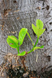 New growth on tree Royalty Free Stock Image