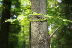 New growth on tree. New growth on a tree in the woods Royalty Free Stock Photography