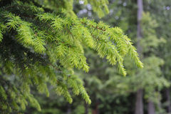 New Growth On Tree Branch. Douglas Fir tree branch with new growth Stock Photography