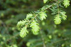 New Growth on a Western Hemlock. Fresh spring growth on a branch of a western hemlock Royalty Free Stock Images