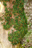 New growth on Yew. Plant portrait new growth on yew tree (Taxus baccata Royalty Free Stock Image