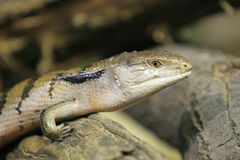 New Guinea blue-tongued skink Stock Photography