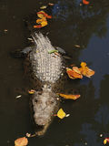 New guinea crocodile royalty free stock photos