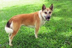 New Guinea Dog. This brown part-New Guinea Singing Dog with a curly tail stands and watches eagerly royalty free stock images