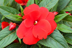 New Guinea flower in the garden. A new Guinea flower in the garden Royalty Free Stock Photos