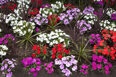 Free New Guinea Impatiens Royalty Free Stock Image - 24919176
