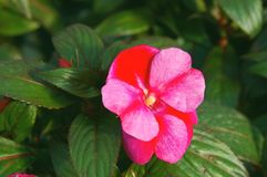 New Guinea Impatiens Stock Images