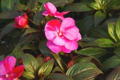 New Guinea Impatiens. Blossom and foilage of Impatiens Royalty Free Stock Photo