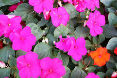 New Guinea Impatiens flowers Royalty Free Stock Photography