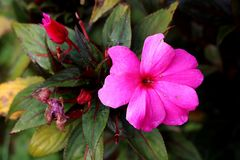 New Guinea impatiens or Impatiens hawkeri flowering plant with single open large dark pink flower surrounded with closed flower. New Guinea impatiens or royalty free stock image