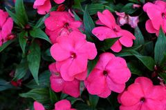 New Guinea impatiens or Impatiens hawkeri flowering plant with large pink flowers and thick petals. New Guinea impatiens or Impatiens hawkeri flowering plant stock image