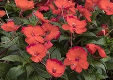 New Guinea Impatiens orange blooms Stock Image