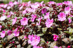 New Guinea Impatiens pink Royalty Free Stock Photos