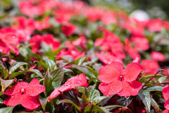 New Guinea Impatiens pink Royalty Free Stock Image
