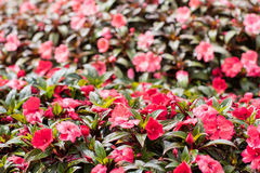 New Guinea Impatiens pink Stock Photography