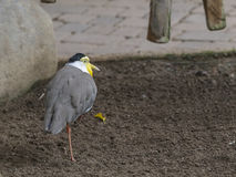 New Guinea Masked Lapwing Royalty Free Stock Photos