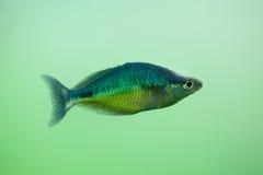 New Guinea rainbowfish Melanotaenia affinis Royalty Free Stock Photography