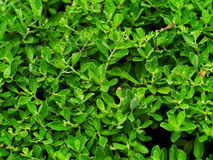 New Guinea rosewood, Philippine mahogany or Pterocarpus indicus Stock Photos