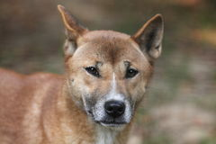 New Guinea singing dog Stock Photography
