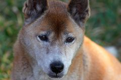 New Guinea Singing Dog. Singing dog portrait Royalty Free Stock Images