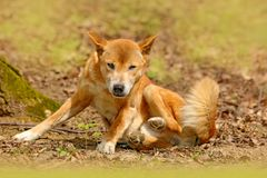 New Guinea singing dog, Canis dingo hallstromi, in the nature habitat during sunny day. Wild dingo in the forest, Australia. stock photo