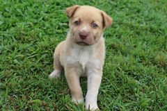 New Guinea Singing Dog mixed breed puppy sitting Stock Images
