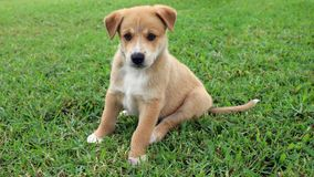 New Guinea Singing Dog Puppy. A cute brown New Guinea Singing Dog mix puppy with white markings in Papua New Guinea stock image