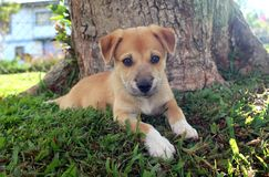 New Guinea Singing Dog Puppy by Tree. A cute brown New Guinea Singing Dog mix puppy with white paws rests outdoors in the shade of a tree stock photos