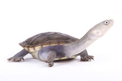 New Guinea snake-necked turtle, Chelodina novaeguineae. The New Guinea snake-necked turtle, Chelodina novaeguineae, is a weird looking aquatic reptile species Royalty Free Stock Photo