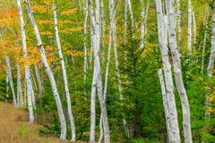New Hampshire-Birke Stockbilder