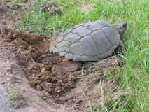Before the New Hampshire Flood. One hour prior to a raging flood, this turtle decided to lay her eggs beside the road in New Hampshire Royalty Free Stock Photos