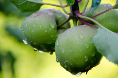 New harvest  of apples after rain Stock Photography