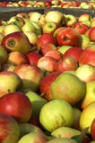 New harvest of colorful apples, Netherlands Royalty Free Stock Photography