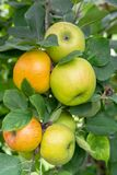 New harvest of healthy fruits, ripe sweet green apples growing on apple tree stock photo