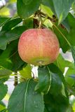 New harvest of healthy fruits, ripe sweet pink apples growing on apple tree royalty free stock image