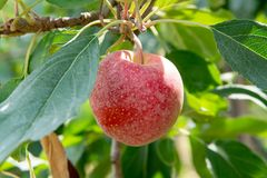 New harvest of healthy fruits, ripe sweet pink apples growing on apple tree royalty free stock photo