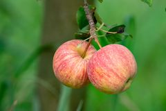 New harvest of healthy fruits, ripe sweet pink apples growing on apple tree stock photo