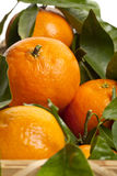 New harvest oranges Royalty Free Stock Photography