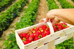 New harvest of sweet fresh outdoor red strawberry, growing outside in soil, ripe tasty strawberries in basket. In Holland royalty free stock photography