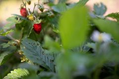 New harvest of sweet fresh outdoor red strawberry, growing outside in soil, rows with ripe tasty strawberries stock photos